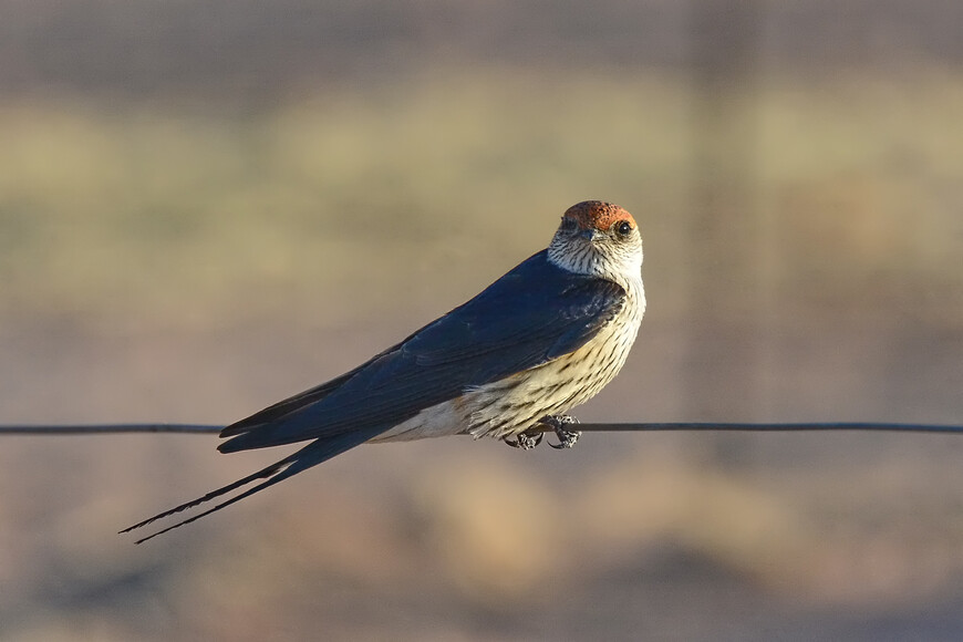Капская большая ласточка, Cecropis cucullata, Greater Striped Swallow