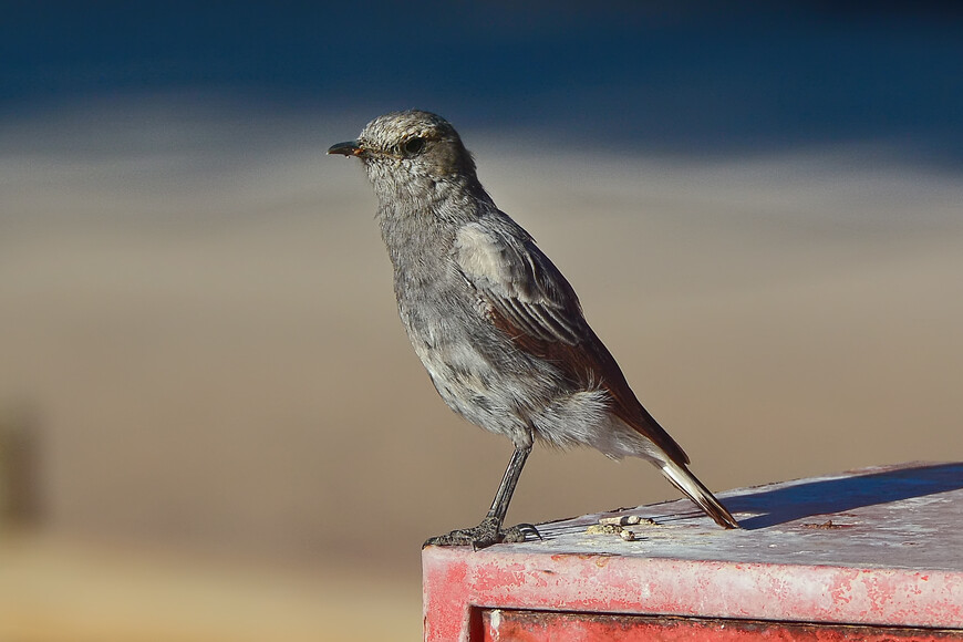 Горная каменка, Oenanthe monticola, Moutain Wheatear