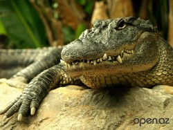 В Зимбабве крокодил напал на человека.