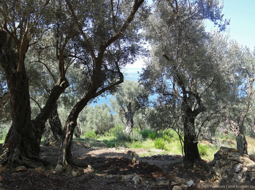 А это - оливковые рощи, из которых и проистекает главный местный продукт...