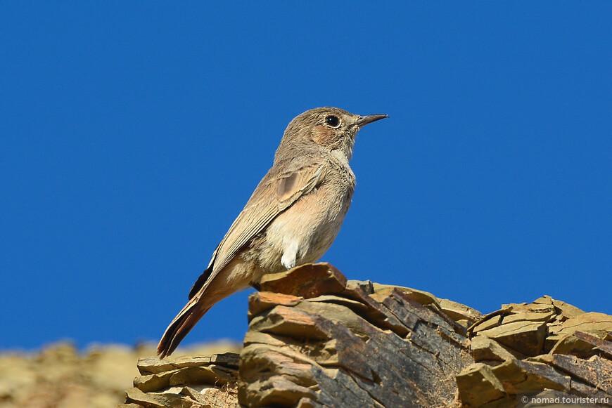 Дроздовая саванная мухоловка, Bradornis infuscatus, Chat Flycatcher