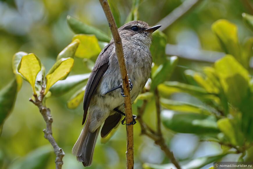 Темная мухоловка, Muscicapa adusta, African Dusky Flycatcher