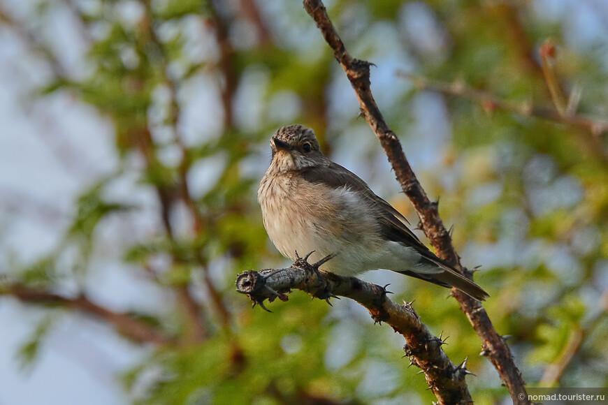 Серая мухоловка, Muscicapa striata, Spotted Flycatcher