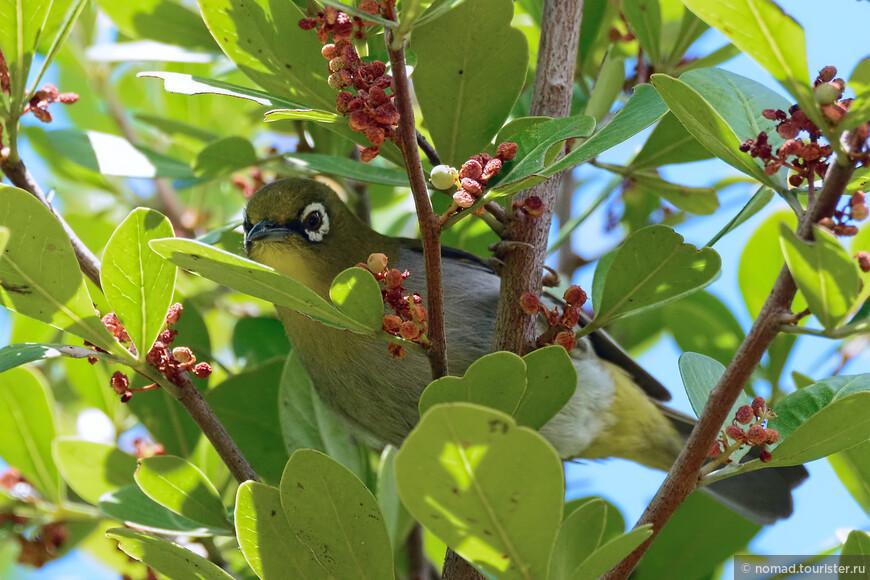 Капская зеленая белоглазка, Zosterops capensis virens, Cape White-eye, эндемик