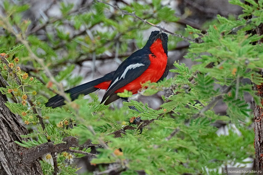 Красногрудый певчий сорокопут, Laniarius atrococcineus, Crimson-breasted Shrike