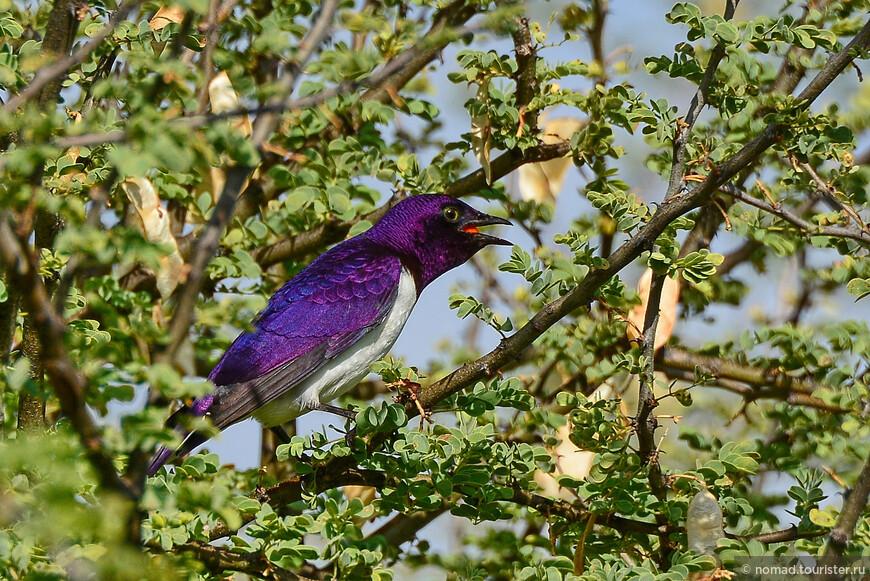 Аметистовый скворец, Cinnyricinclus leucogaster, Violet-backed Starling