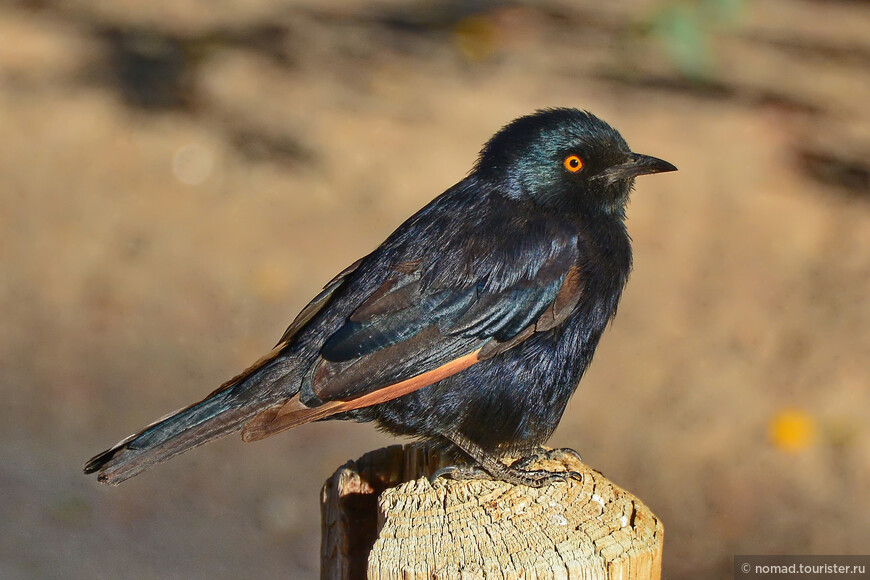 Бледнокрылый длиннохвостый скворец, Onychognathus nabouroup, Pale-winged Starling