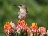 Птицы Южной Африки и Намибии. 3