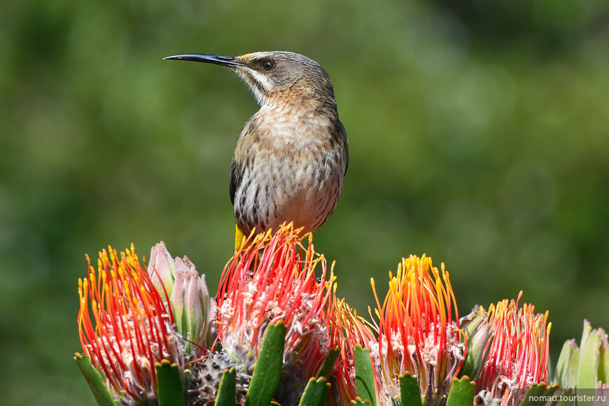 Капский сахарный медосос, Promerops cafer, Cape Sugarbird, эндемик