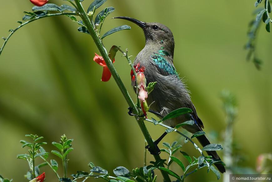 Синегалстучная нектарница, Cinnyris chalybeus, Southern Double-collared Sunbird, эндемик