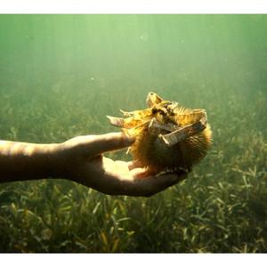 Морские обитатели - морской еж.