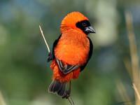 Птицы Южной Африки и Намибии. 4+бонус