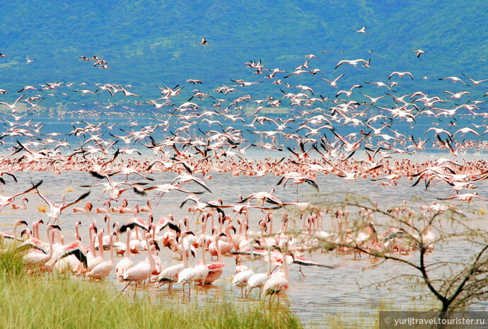 Царство фламинго на озере Богория в Кении