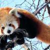 Красная панда - зверь на редкость симпатичный;)