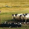 Бело-черное или черно-белое? В данном случае это не важно, так как шоу дрессированных пастушьих собак забирает все внимание без остатка!