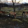 Как из называют местные, Шевальски хорс, но мы-то знаем, что это  лошадь Пржевальского!