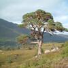 Древние Каледонские сосны