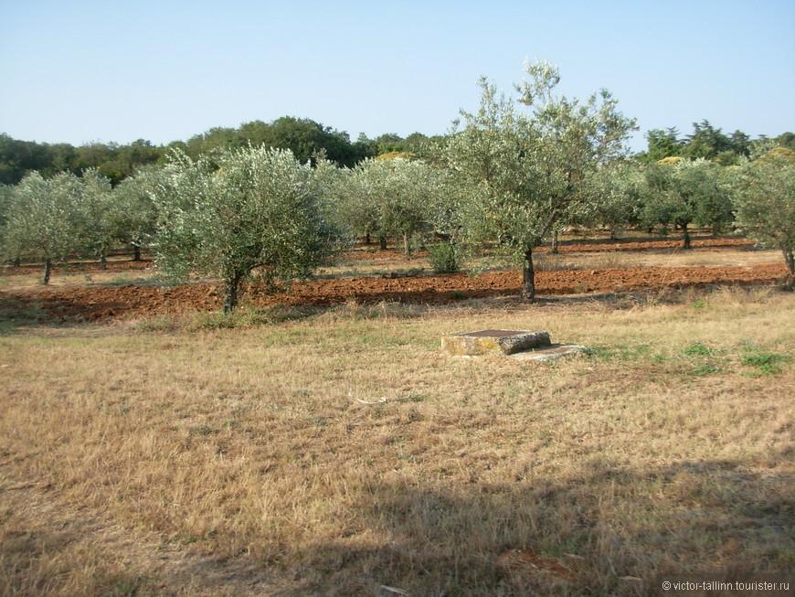 Оливковые рощи прямо за отелем.