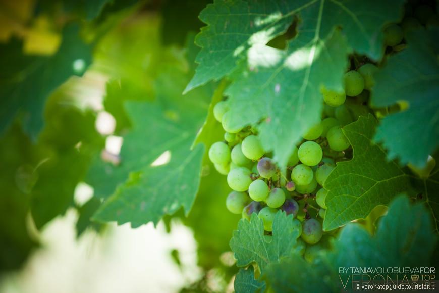 Местный виноград, Озеро Гарда