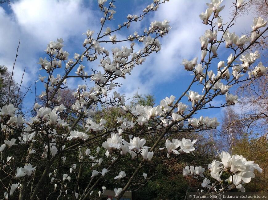 Магнолия - древнейший цветок