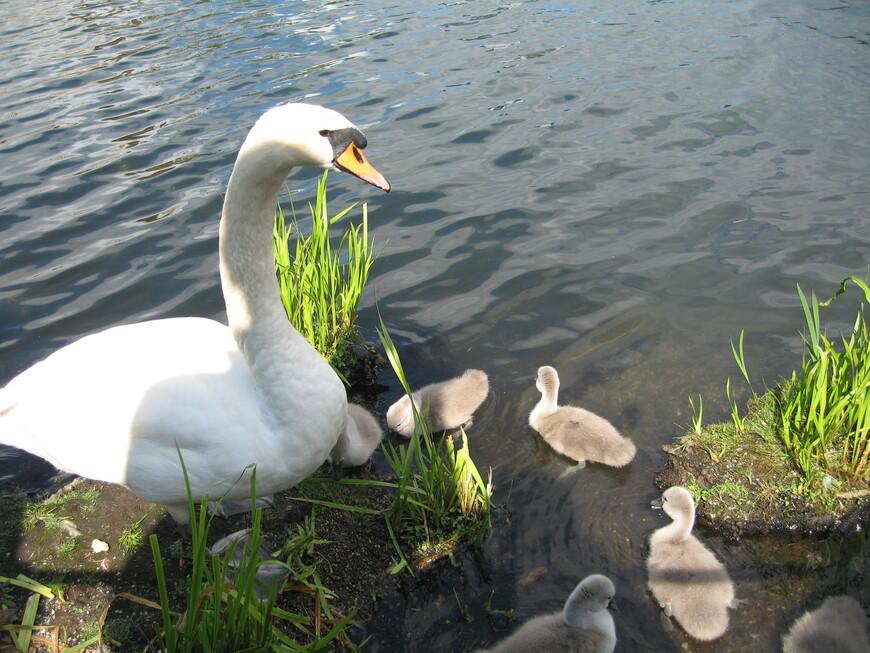Лебединое семейство в порту