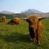 Длинношерстые коровы Хайленда рядом с вискикурней Гленливет