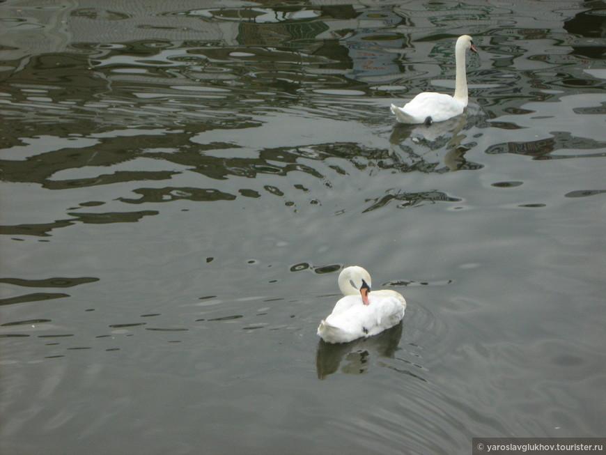 Лебеди плавают по Влтаве.