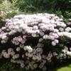 цветение рододендронов в мае