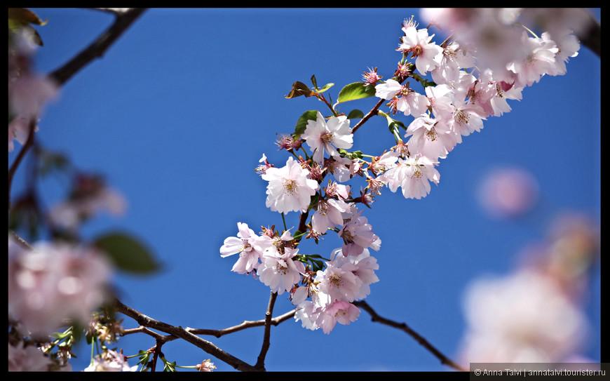Плоды только на некоторых сортах и эти плоды по-японски называются сакура-но-ми.