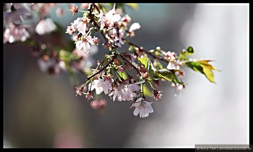 Они кислые и поэтому не особо вкусные и по размеру мельче обычной вишни.