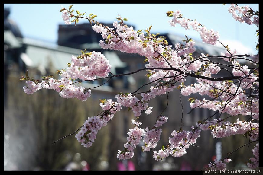 Цветы нежно-розовые, ароматные