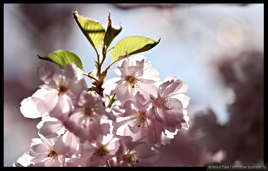 Плоды у сакуры встречаются крайне редко, так как сакура - декоративное растение.