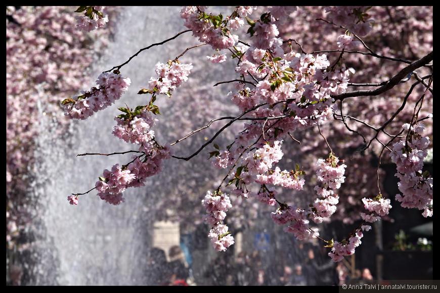 Погода была отличная. Cолнце, чистое голубое небо, легкий ветерок, который раздувал и кружил нежно-розовые лепестки сакуры.