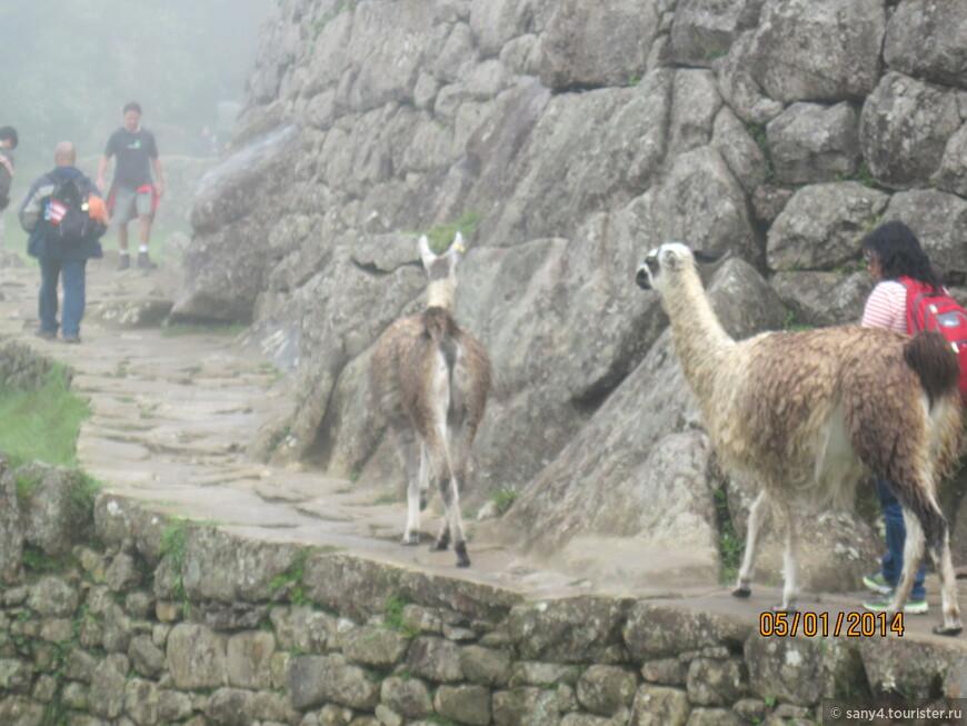 Ламы нисколько не боятся туристов и гуляют с ними по узким тропкам.