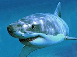 Туристы Индонезии могут стать приманкой для акул
