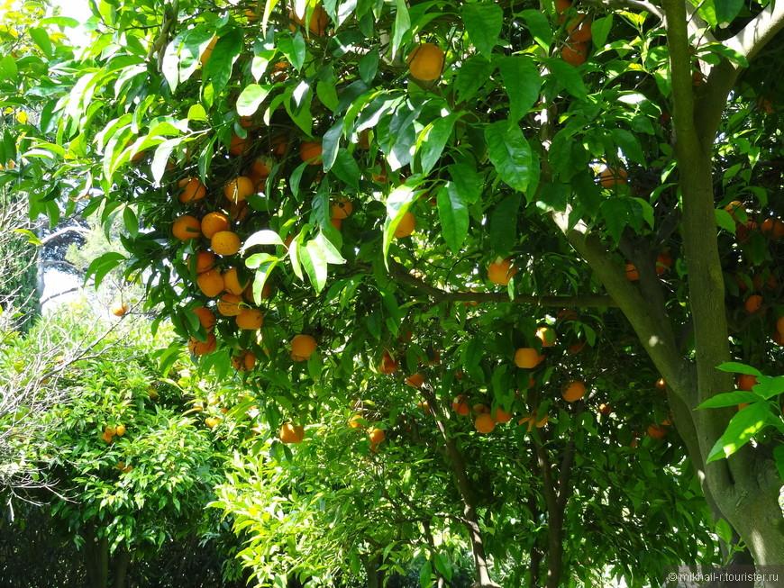 Цитрусовые деревья.