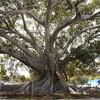 Фиговой дерево