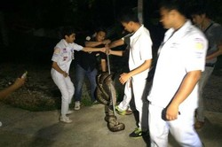 В одном из отелей на Пхукете поймали королевскую кобру