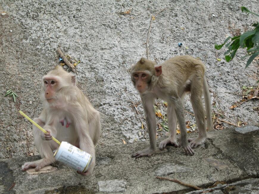 Пивка попить.  Обезьянки бегают по Тропическому саду свободно