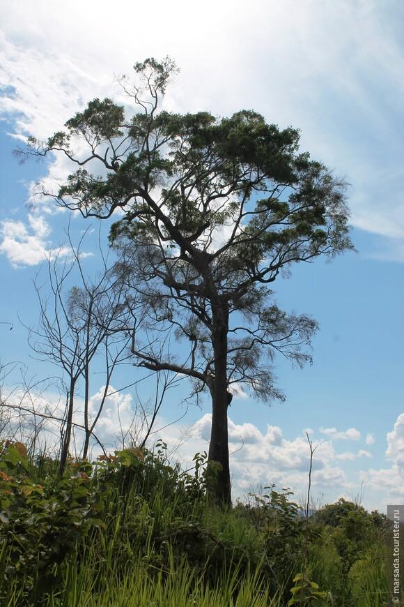 огромные исполинские деревья