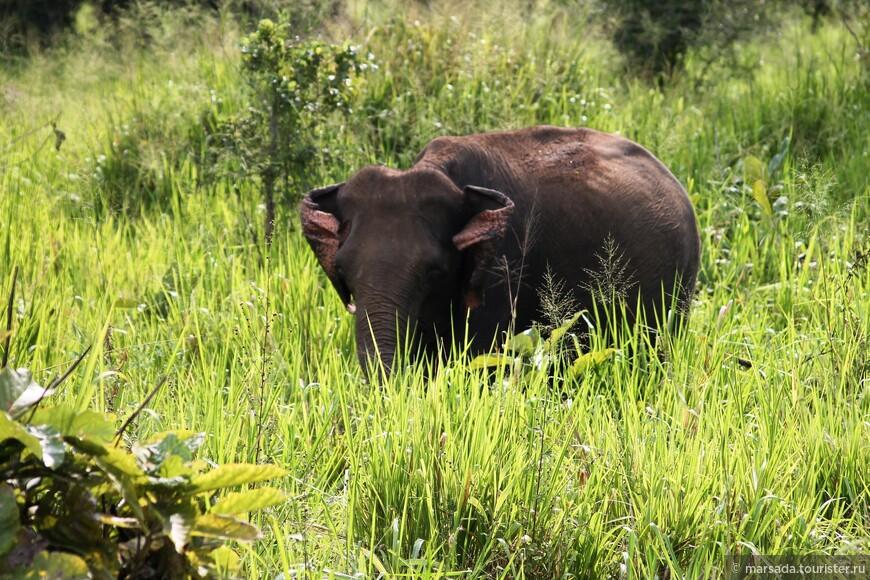 а вот и знаменитые ланкийские слоники