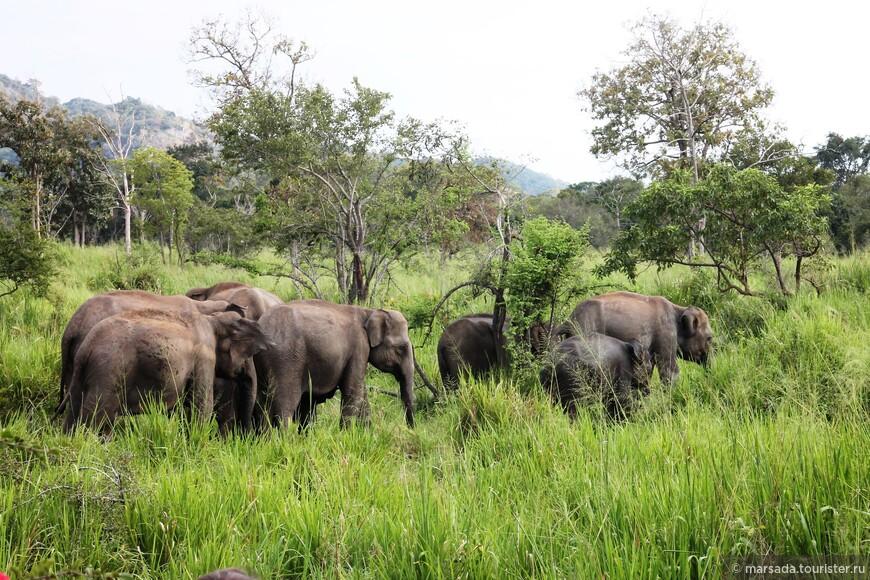 А вот и семья слонов