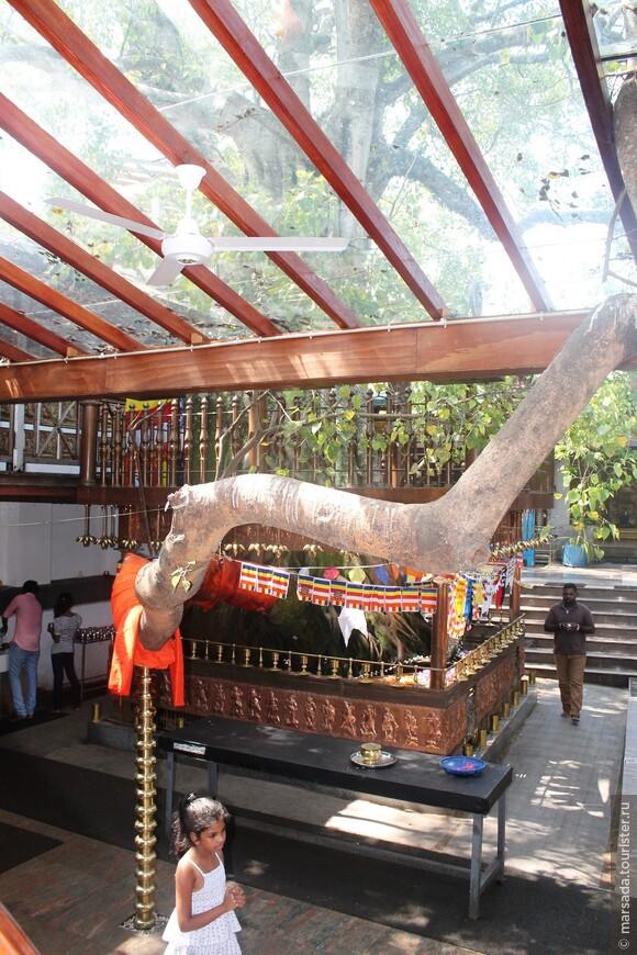 А это священное дерево, возле которого проповедовал Будда - дерево Бодхи. Вокруг него происходят ритуалы и молитвы. Росток этого дерева был привезет из Индии на Шри-Ланку и со временем распочковался почти по всем храмам Цейлона. Главная (первая и самая старая) ветвь дерева всегда бережно поддерживается специальными опорами.