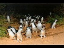 Парад Пингвинов. Австралия. Penguins Parade in Australia, 01:25