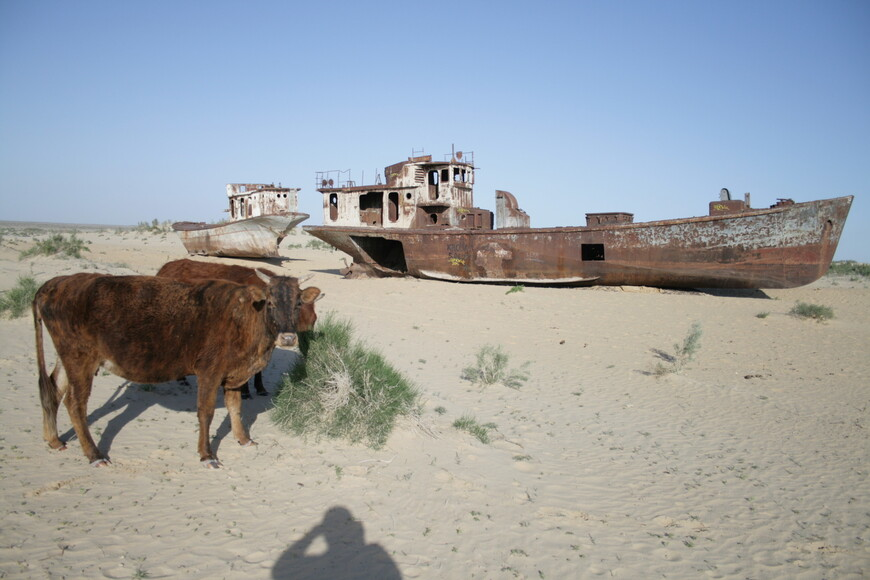 Коровы спокойно дожирают останки судов