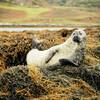 Тюлени, которых можно разглядеть в бинокль из окон замка Данвеган - настоящие актеры! Но все же, если позволяет время, лучше подплыть к ним на лодке поближе