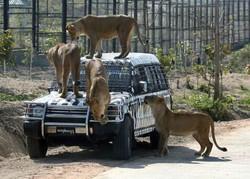 Лев растерзал туристку в ЮАР