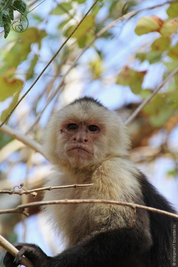 Среди обезьян он Энштейн! Философски-задумчивый вид не тревожило ничто. Думы о несовершенстве мира и своем месте в нем читались в каждой складке задумчивого чела обезьяны из Коста-Рики.