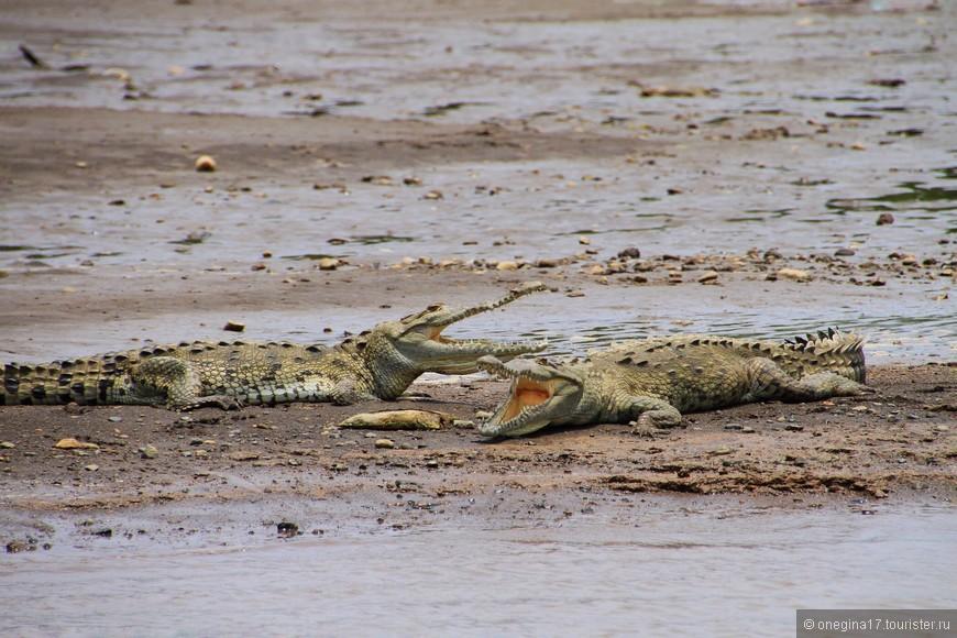 Послеобеденный сон. Их там много, реку не зря назвали Крокодиловой. Таких чистеньких, словно из бани, крокодилов я не видела пока нигде. Самые аккуратные крокодилы, как оказалось, живут в Коста-Рике!