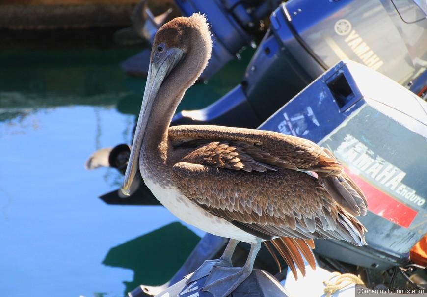 Пеликан-мексиканец. Поджидал меня в Кабо-сан-Лукас. Обожаю пеликанов! Очень изящные, очень грациозные, красиво летают, еще более красиво парят и ловко ныряют за рыбой. Куда там чайкам угнаться...